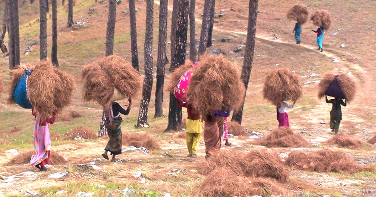 Locals collecting pine needles on the ground. (Source: Energy for All)