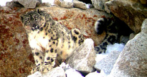 Snow Leopard in Ladakh. (Source: Facebook/Snow Leopard Conservancy India Trust)