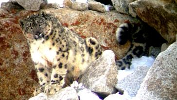 Snow Leopard in Ladakh. (Source: Facebook/Snow Leopard Conservancy India Trust)