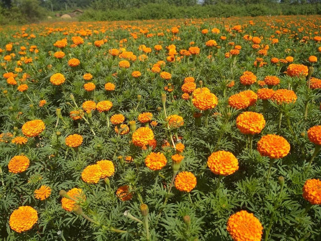 Jharkhand Women Use Marigolds To Earn Lakhs Beat Illegal Opium Trade