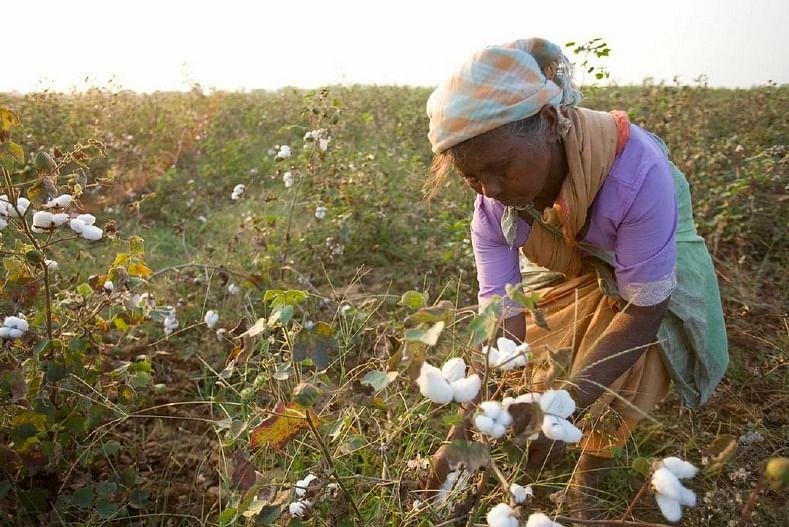 Picking cotton. (Source)