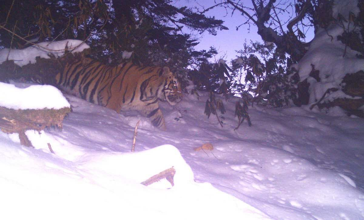 A camera-trap image of a male tiger captured at 3246 m in the Dibang Valley. (Source: Twitter/Parveen Kaswan IFS)
