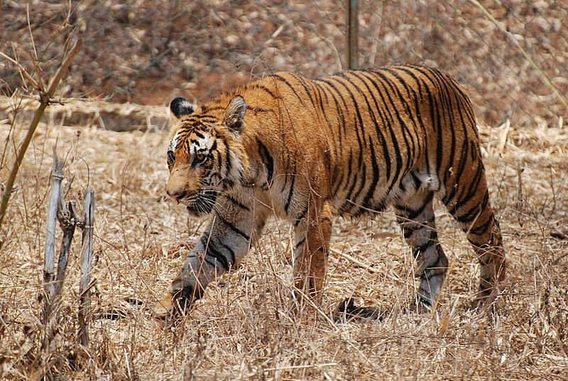 Royal Bengal Tiger in the Sundarbans. (Source: Wikimedia Commons)