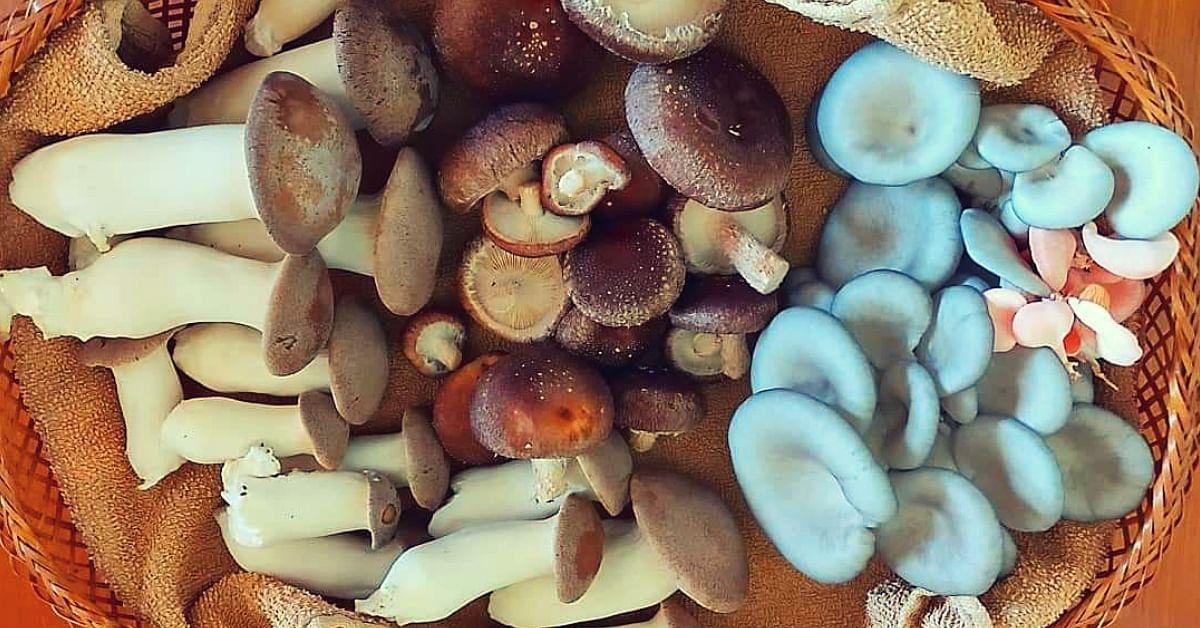 Oyster to Shiitake: B'luru Woman Grows 3 Kinds of Mushrooms on her 10×10 Terrace!