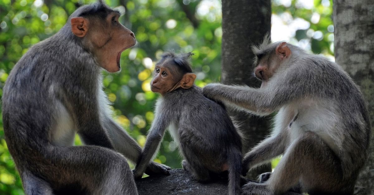 Odisha Plans Fruitful Future for its Monkeys, to Plant Over 1 Lakh Fruit Trees Just for Them!