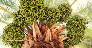 Gujarat farmer bhuj dates fruit orchard Israel india