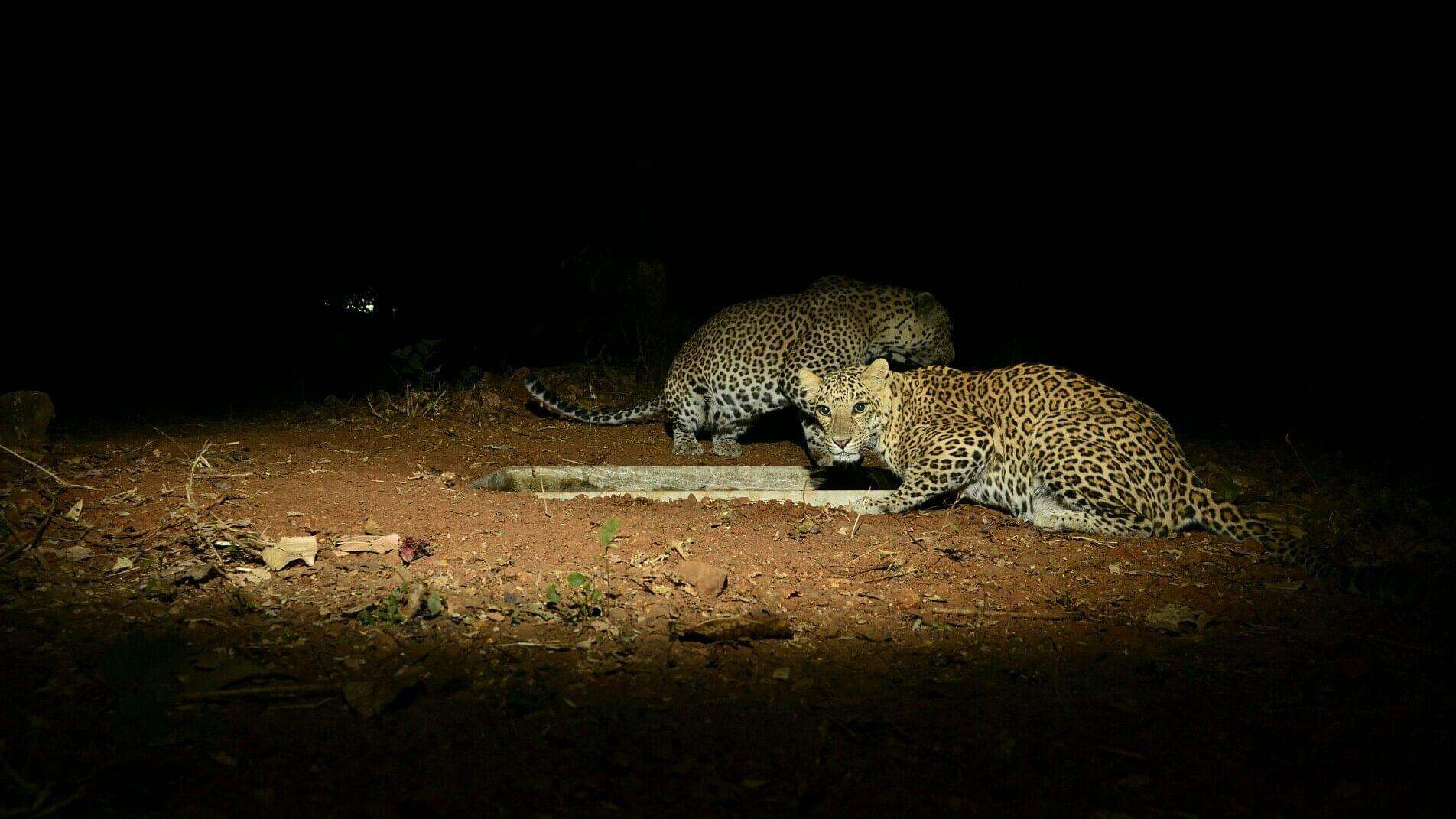A shot of two leopards taken in SGNP Mumbai using DSLR camera trap. (Source: Facebook/Ranjeet Jadhav)