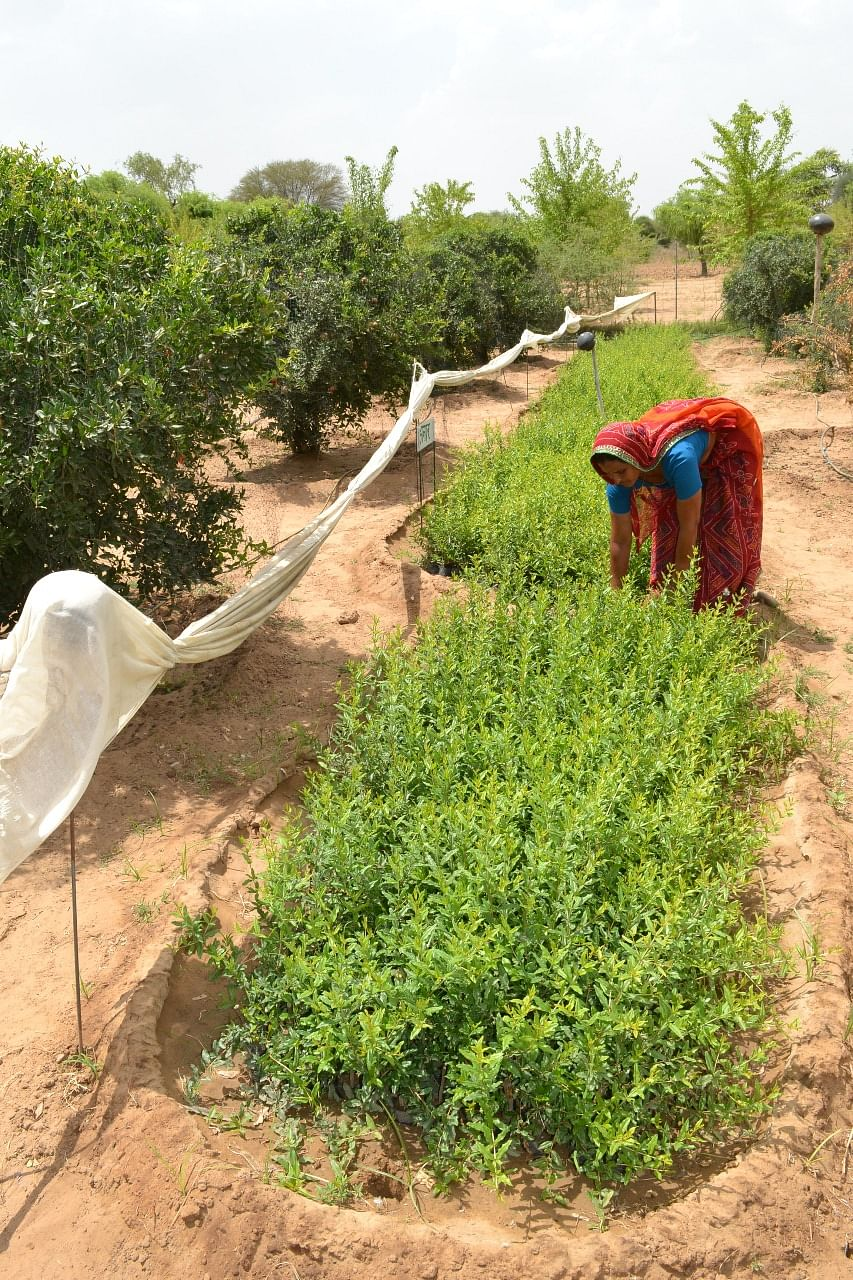 25 Lakhs From 1 25 Acre: Woman Grows Pomegranates on Barren