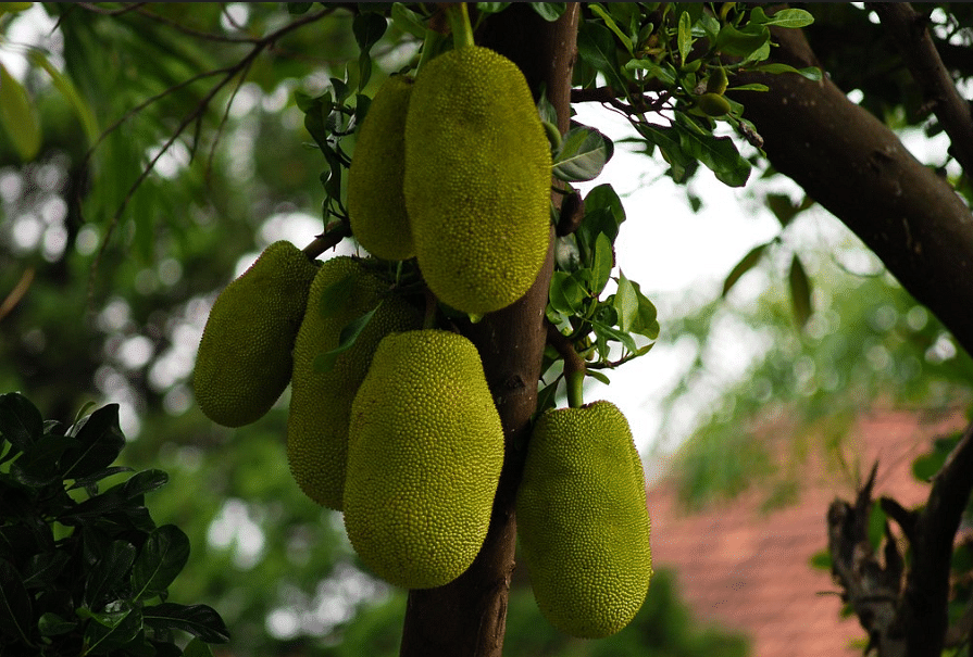 Rs 2,000 Cr of Jackfruit Wasted Annually: Mangaluru Techie Sources Easy Solution, Helps Farmers!