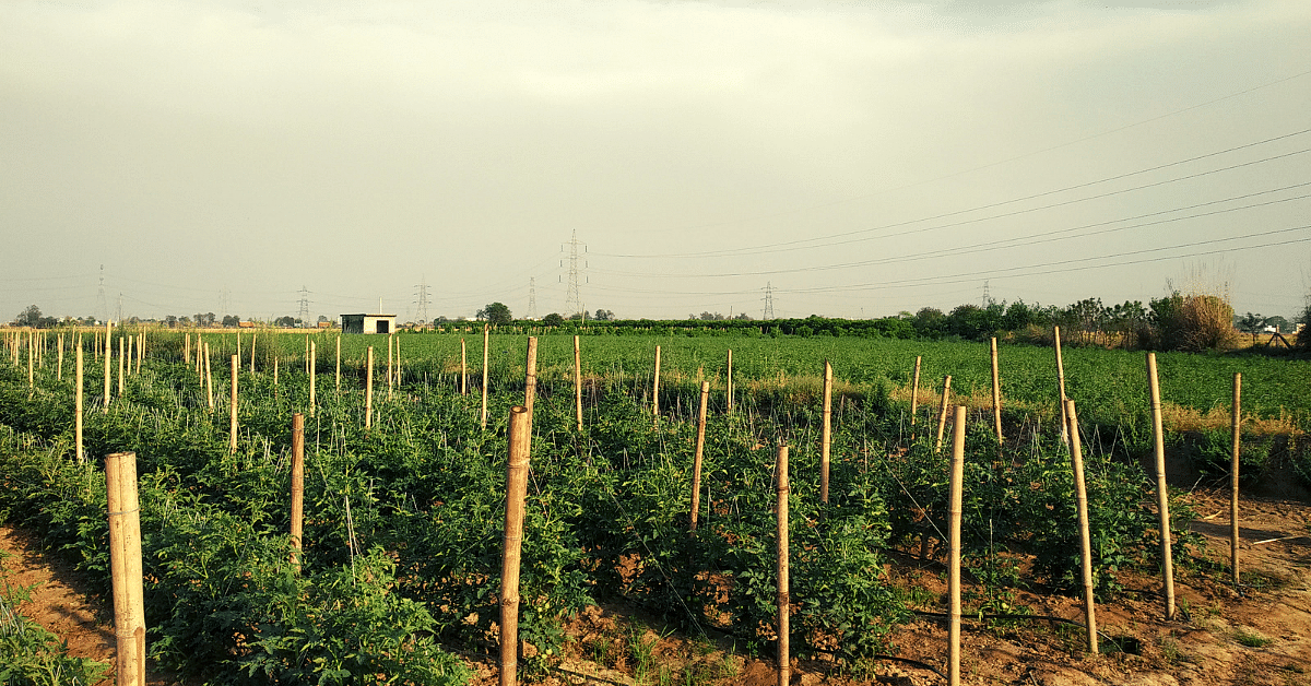 Gurugram Farmer's Technique Stops Wastage of Veggies, Multiplies Income by 4 Times!