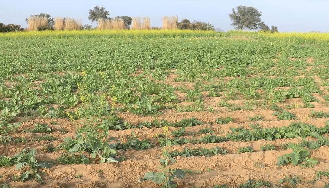 Haryana Engineer Scripts Success in Zero-Budget Natural Farming!