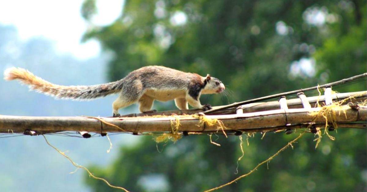 Kerala Sanctuary Builds 'Canopy Bridges', Saves Tree Animals From Road Hits!