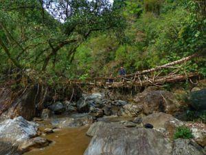 Living root bridge. (Source: Living Bridge Foundation)