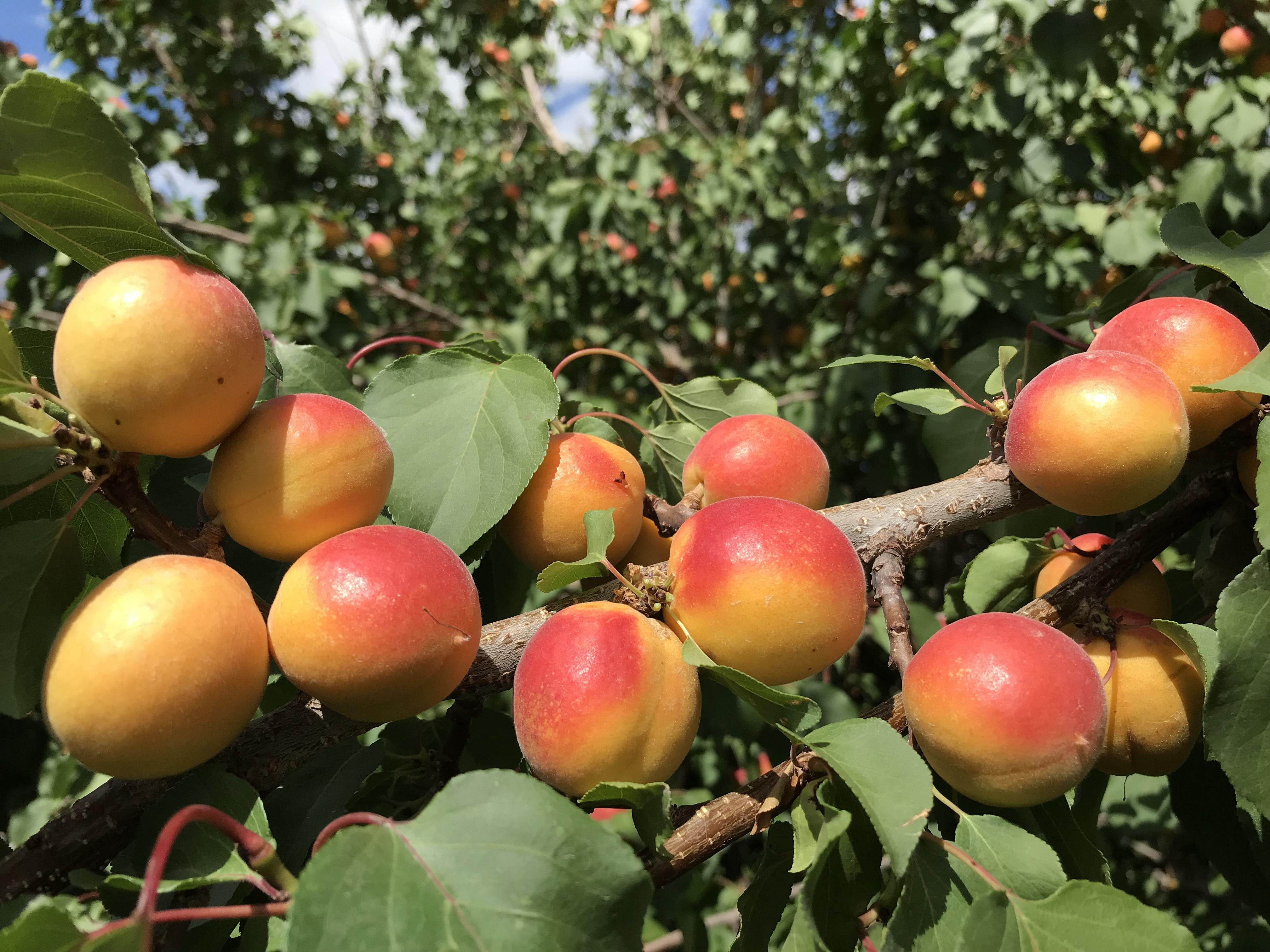 Sumptuous apricots native to Ladakh. (Source: Dr Tsering Stobdan)