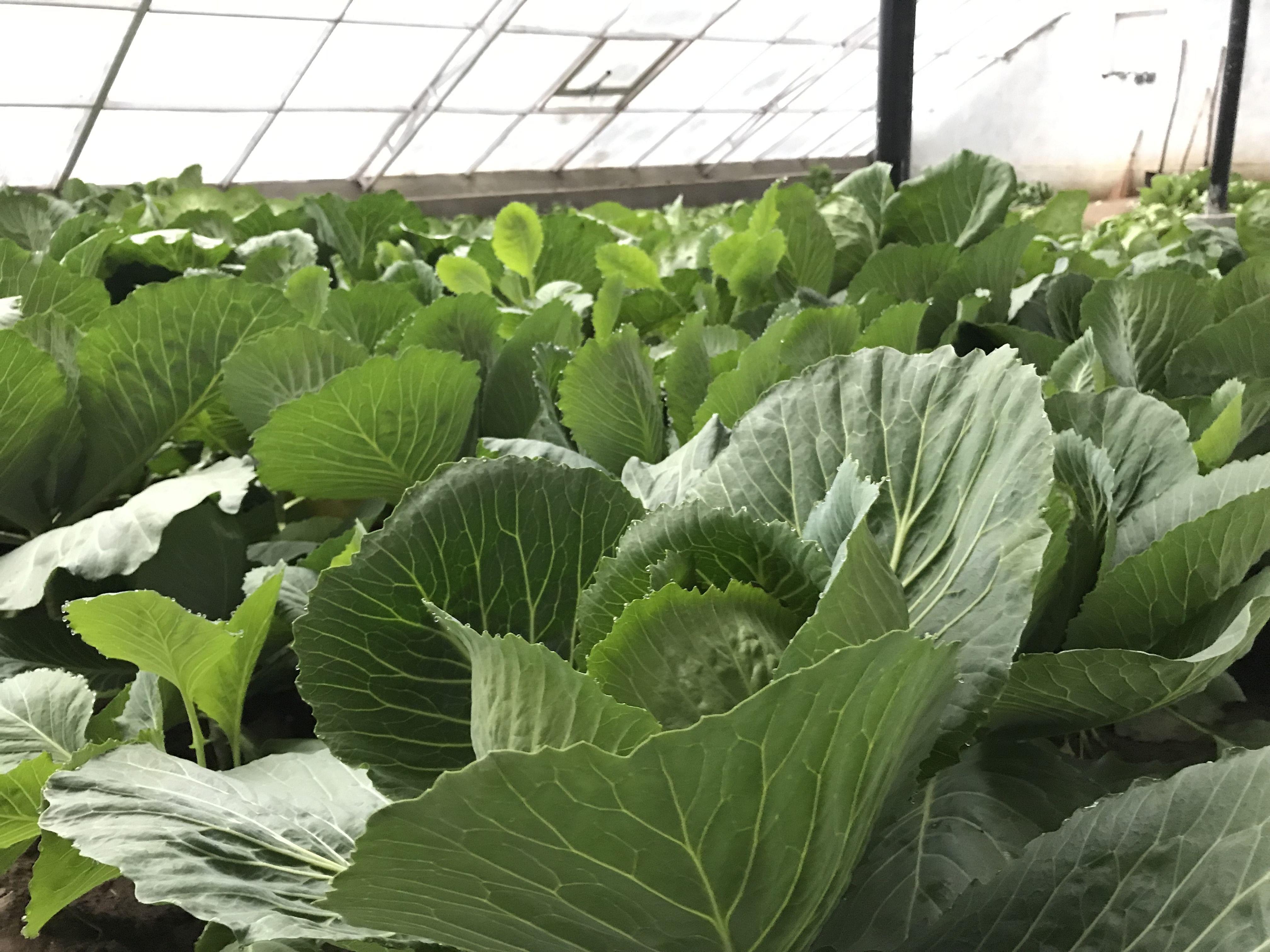 Inside the greenhouse. (Source: Dr Tsering Stobdan)