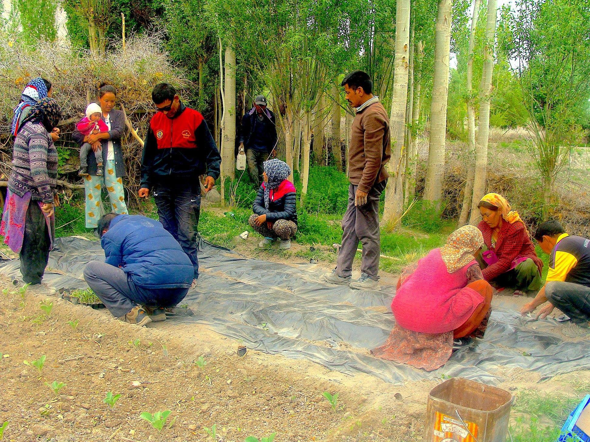 Black polythene mulching at work. (Source: Ladakh Ecological Development Group)