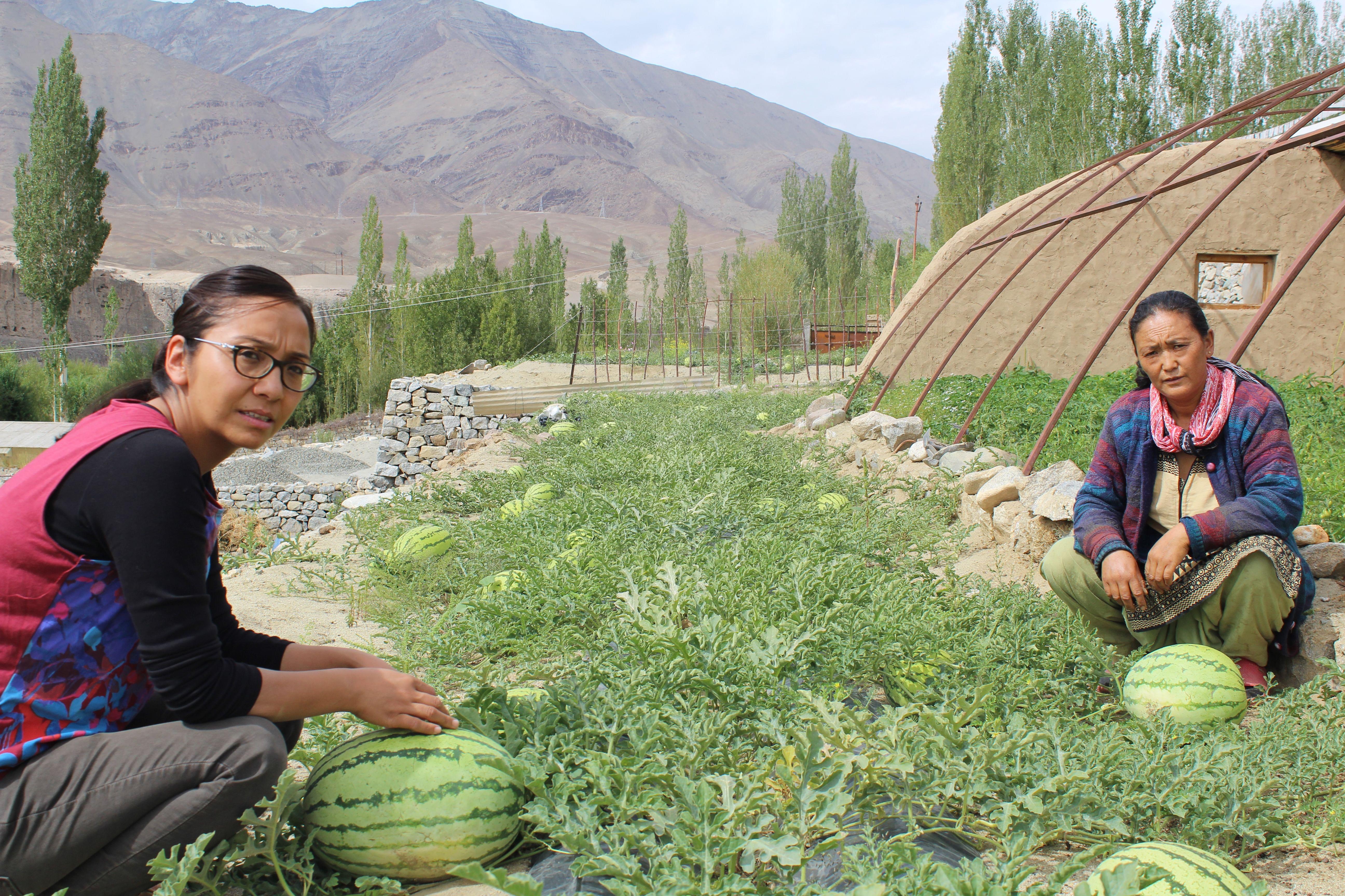 Watermelons: New source of income for the average Ladakhi farmer. (Source: Dr Tsering Stobdan)