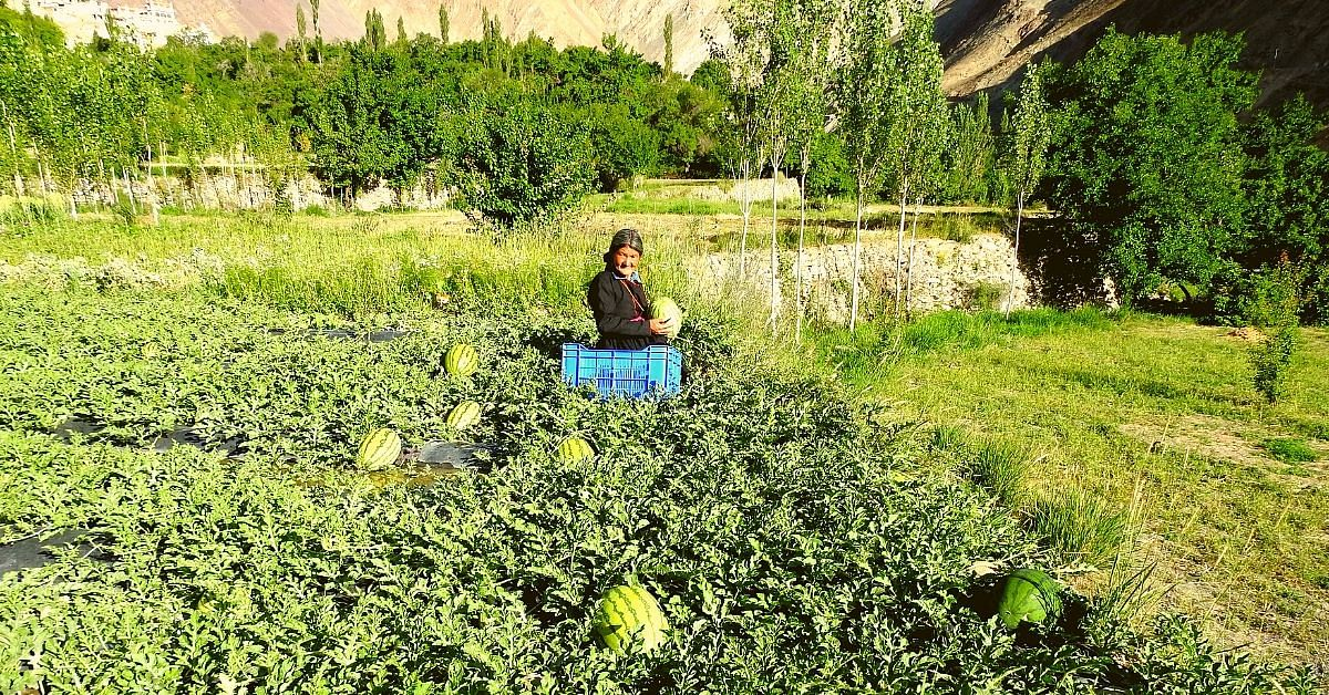 DRDO Is Helping Ladakh Farmers Grow Watermelons, Tomatoes In a Cold Desert!
