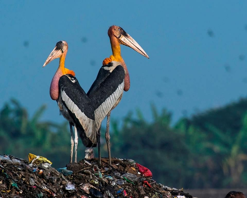 The Greater Adjutant Stork is choking on garbage. (Source: Facebook/Aaranyak)