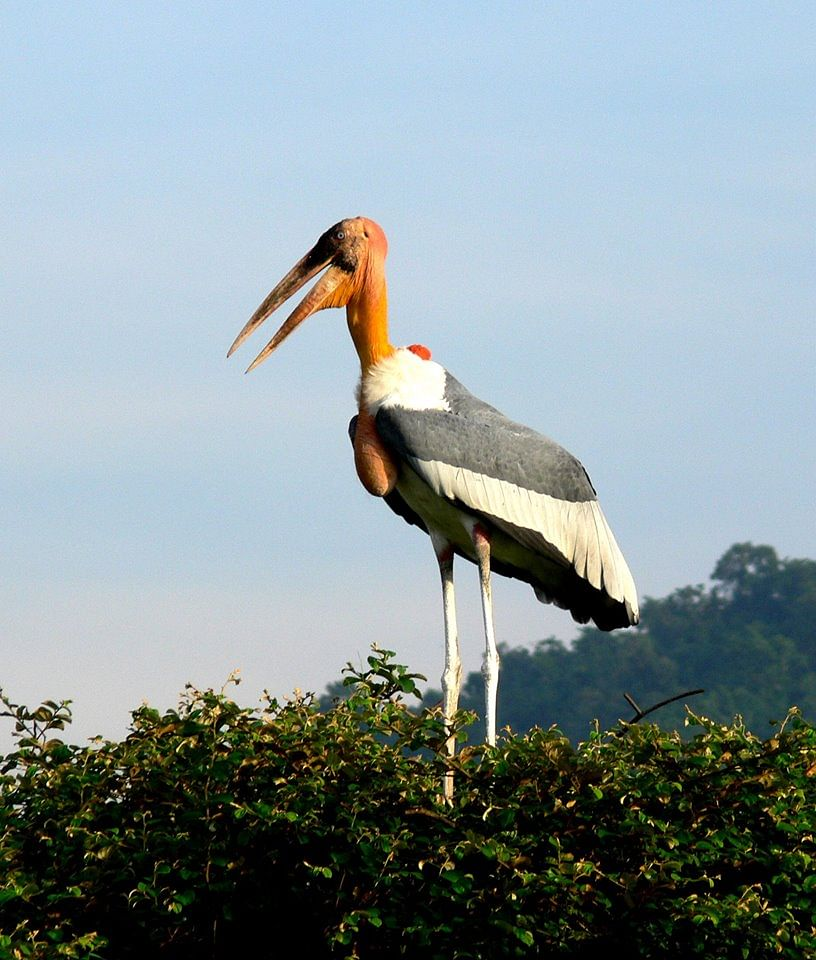 Greater Adjutant Stork (Source: Facebook/Mridul Bora)