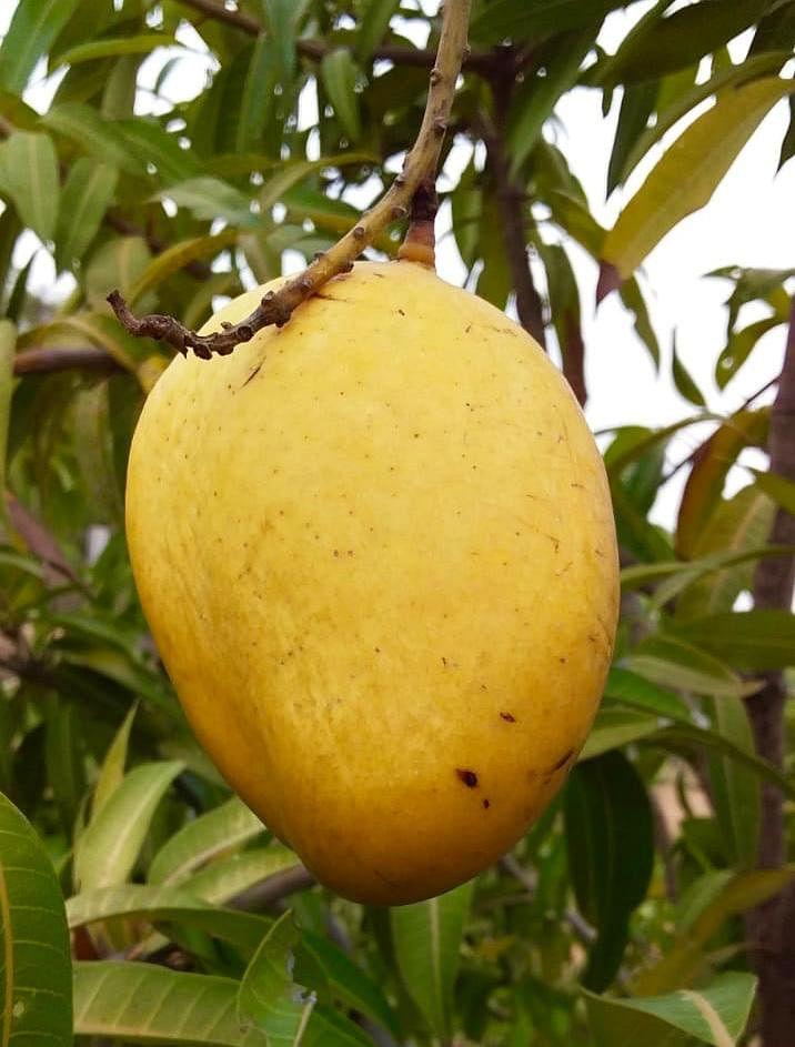 Telangana couple zero budget natural farming organic mango navara rice india