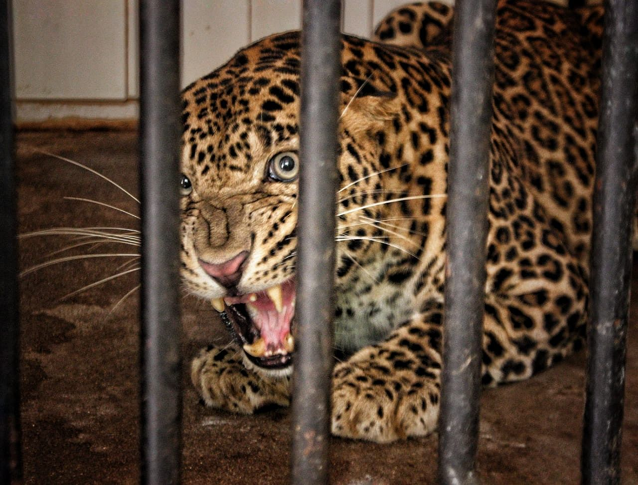 Andhra pradesh veterinarian risks life rescue wildlife inspiring india
