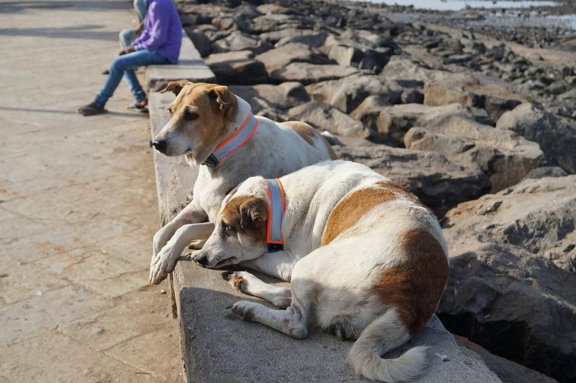 Stray dogs with Motopaws collars. (Source: Shantanu Naidu)