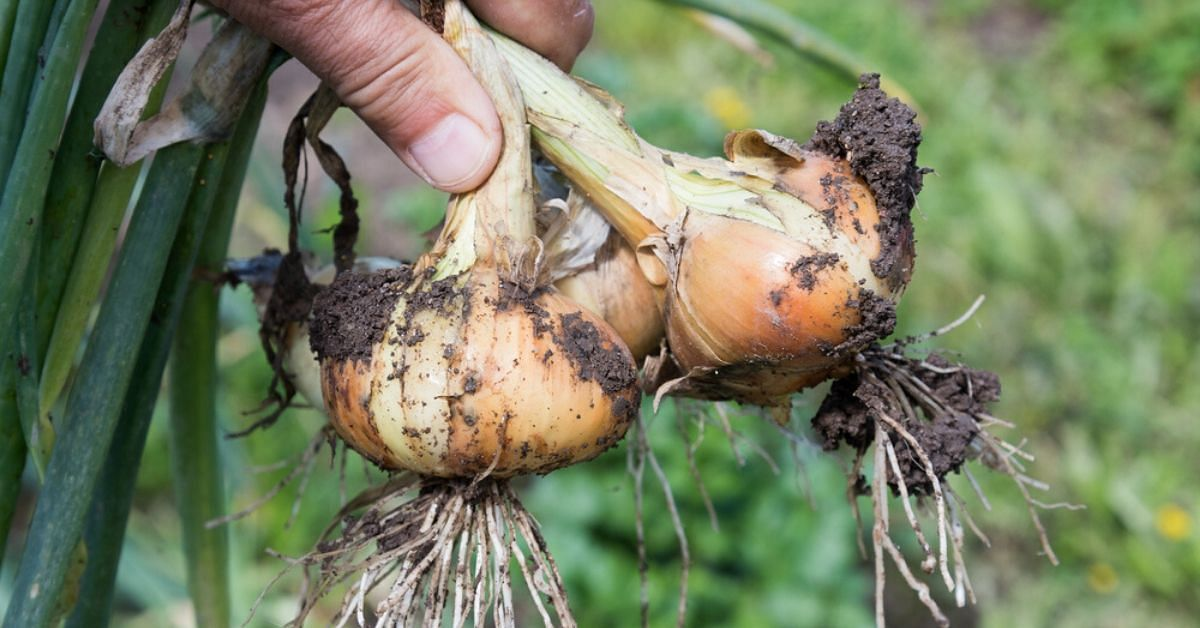How to Grow Onions at Home in Cheap & Easy Ways