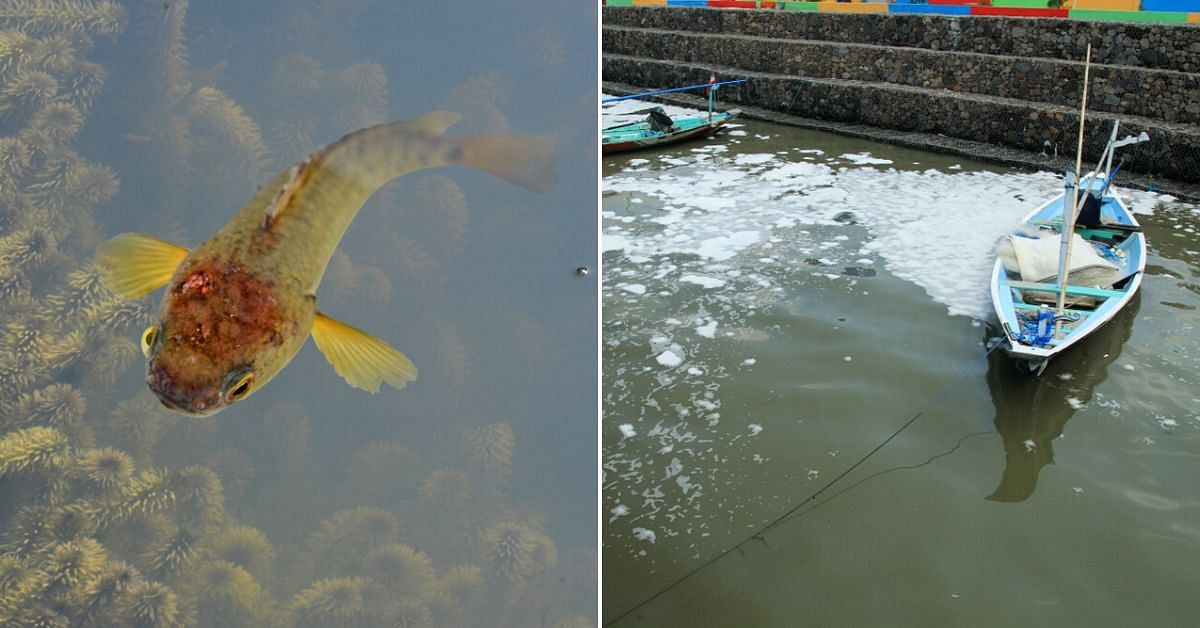 Study Reveals Detergents Stress Kerala's 'Climbing' Fish. Why This Should Worry You