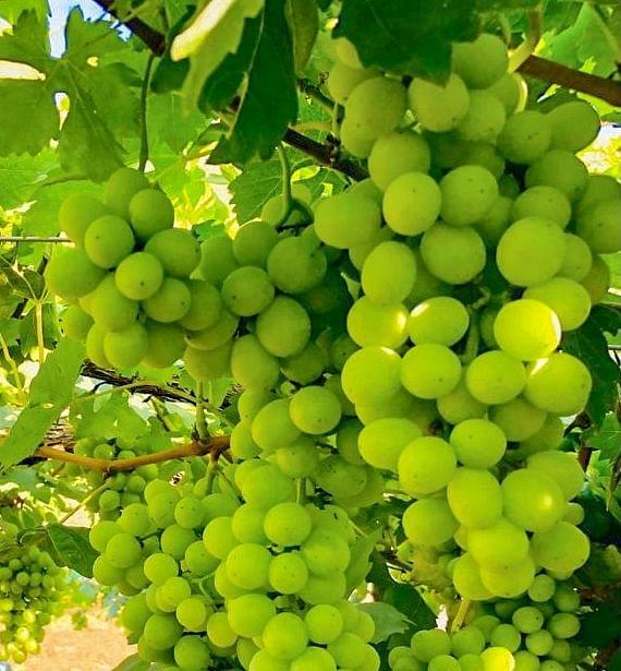 55-YO Farmer desenvolve variedade de uva com rendimento 40% maior 3