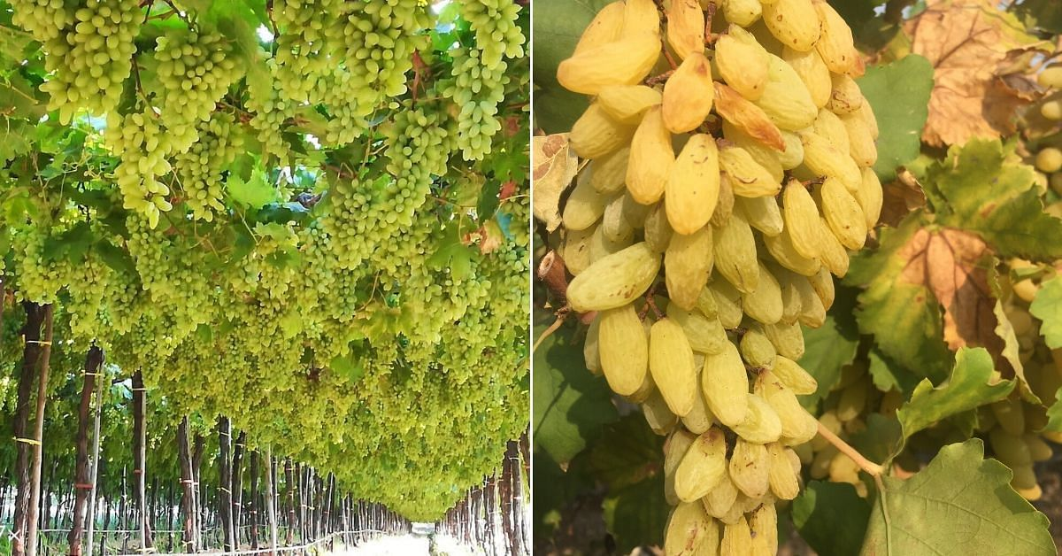pune nashik grapes farmers