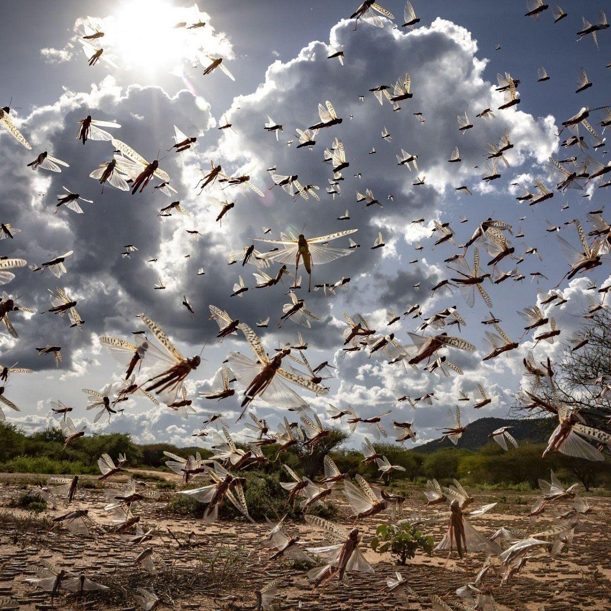 locust attack india