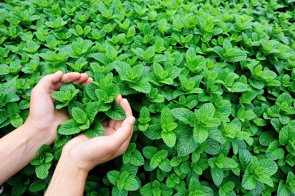 mint organic garden