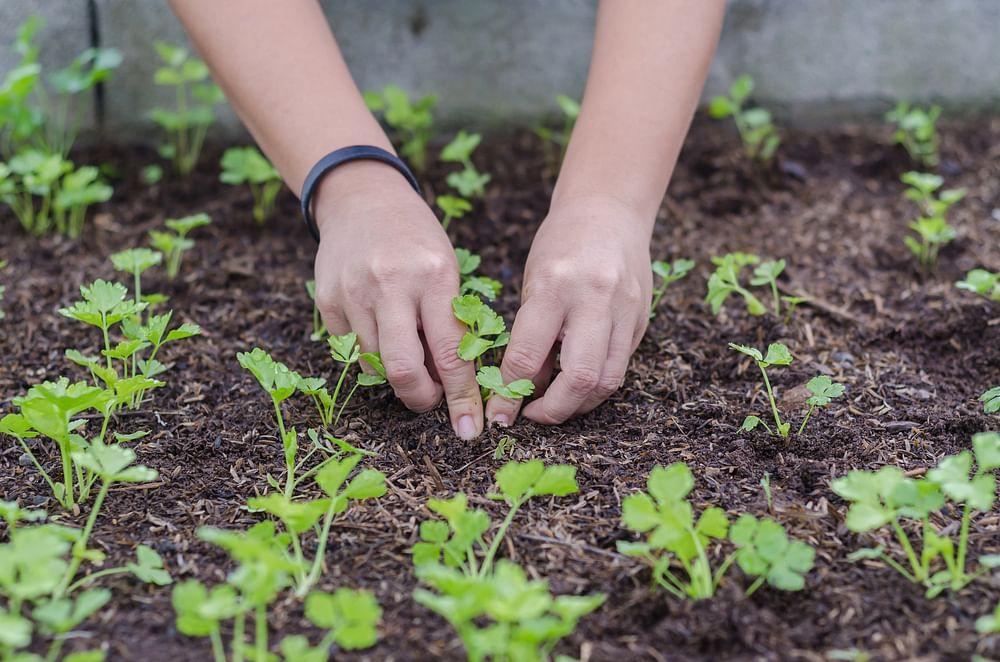 coriander organic garden