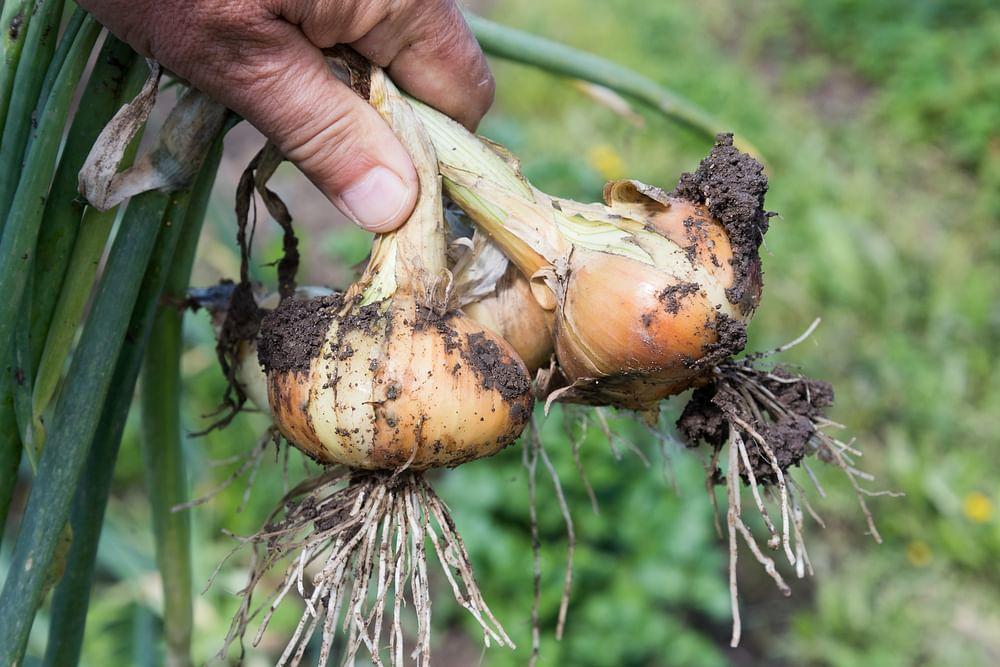 onion organic garden
