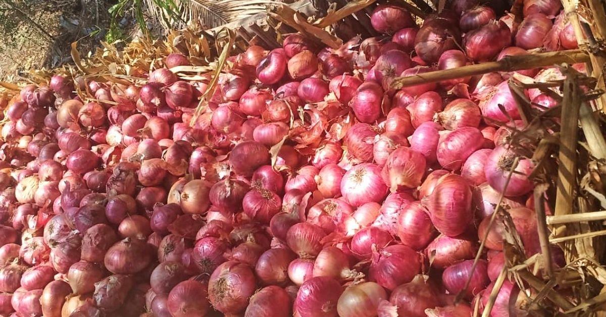 Maha Farmer trabalha por 8 anos, desenvolve cebolas de longa duração resistentes a doenças 2