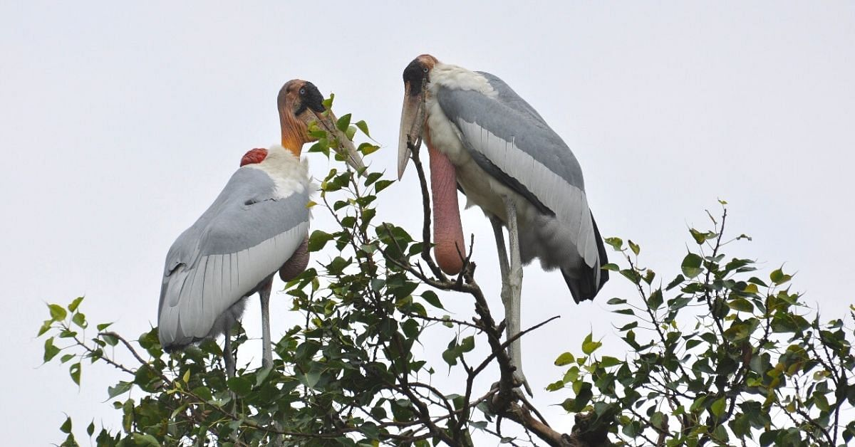 Bihar Man Works for 13 Years, Saves the Greater Adjutant Stork From Extinction!