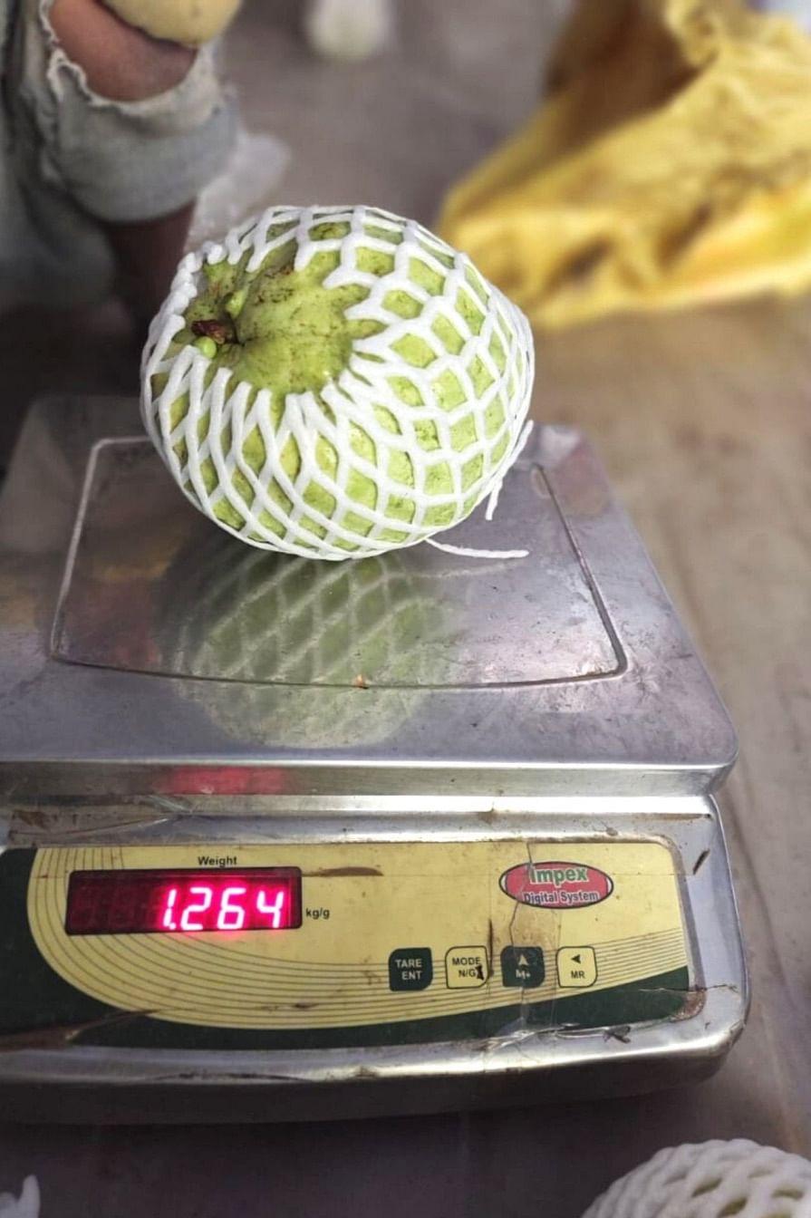 Uma mudança para goiabas gigantes pesando 1,5 kg cada ajuda o fazendeiro de Gujarat a ganhar 10 vezes mais 2