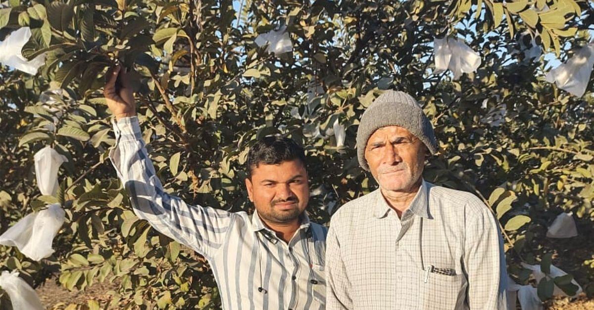 Uma mudança para goiabas gigantes pesando 1,5 kg cada ajuda o fazendeiro de Gujarat a ganhar 10 vezes mais 3